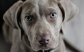 Pes ako darca krvi