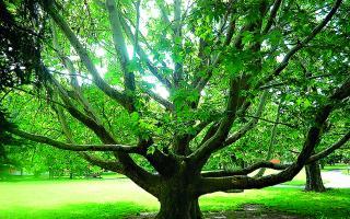Ružinovský platan je piatym stromom roka